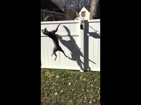 Crazy Dog Jumps 6 Foot Fence