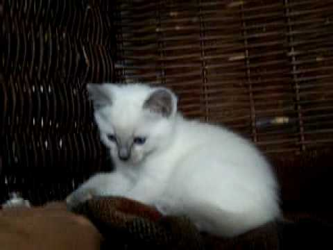 Blue Kittens For Sale : Siamese blue point siamese kitten tresor cats siamese kittens