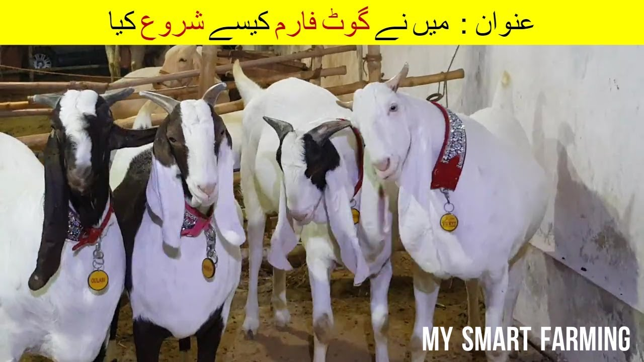 11 | How did I start Goat Farm | میں نے گوٹ فارم کیسے شروع کیا | Modern  Goat Farming in Pakistan