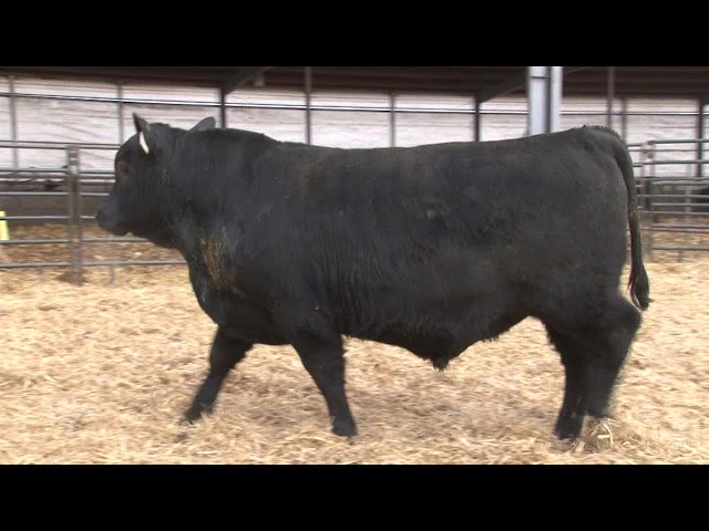 Schiefelbein Angus Farms Lot 371