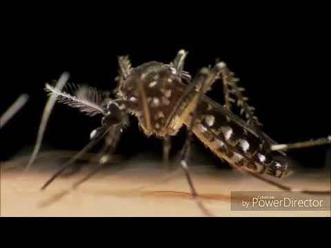 Mosquito diseases , dengue, failaria, zika' malaria