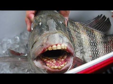 Catch & Cook: Sheephead On The Half Shell | Field Trips Florida