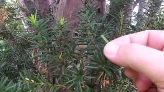 Toxic Yew Tree Identification - Poisonous Trees And Shrubs