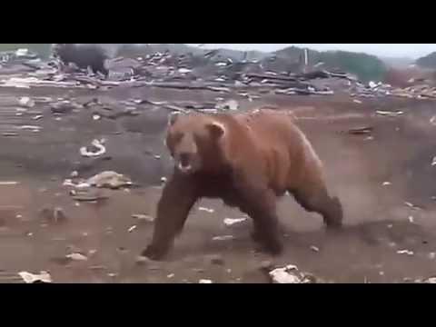 Медведи на свалке в Сургуте