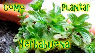 Como Plantar Yerbabuena (En maceta) || México Verde YouTube Videos