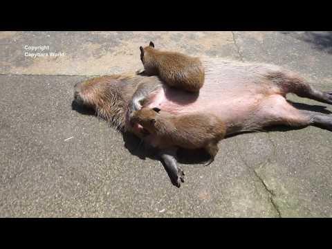 Babies Nibble Dead Capybara or is She? エクスタシーのベビーカピバラニブルカピバラ