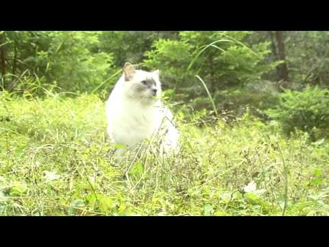 Ragdoll cat Lady Jane in a forest