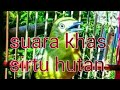 Suara Alami Burung Sirtu Hutan  Mp3 - Mp4 Download