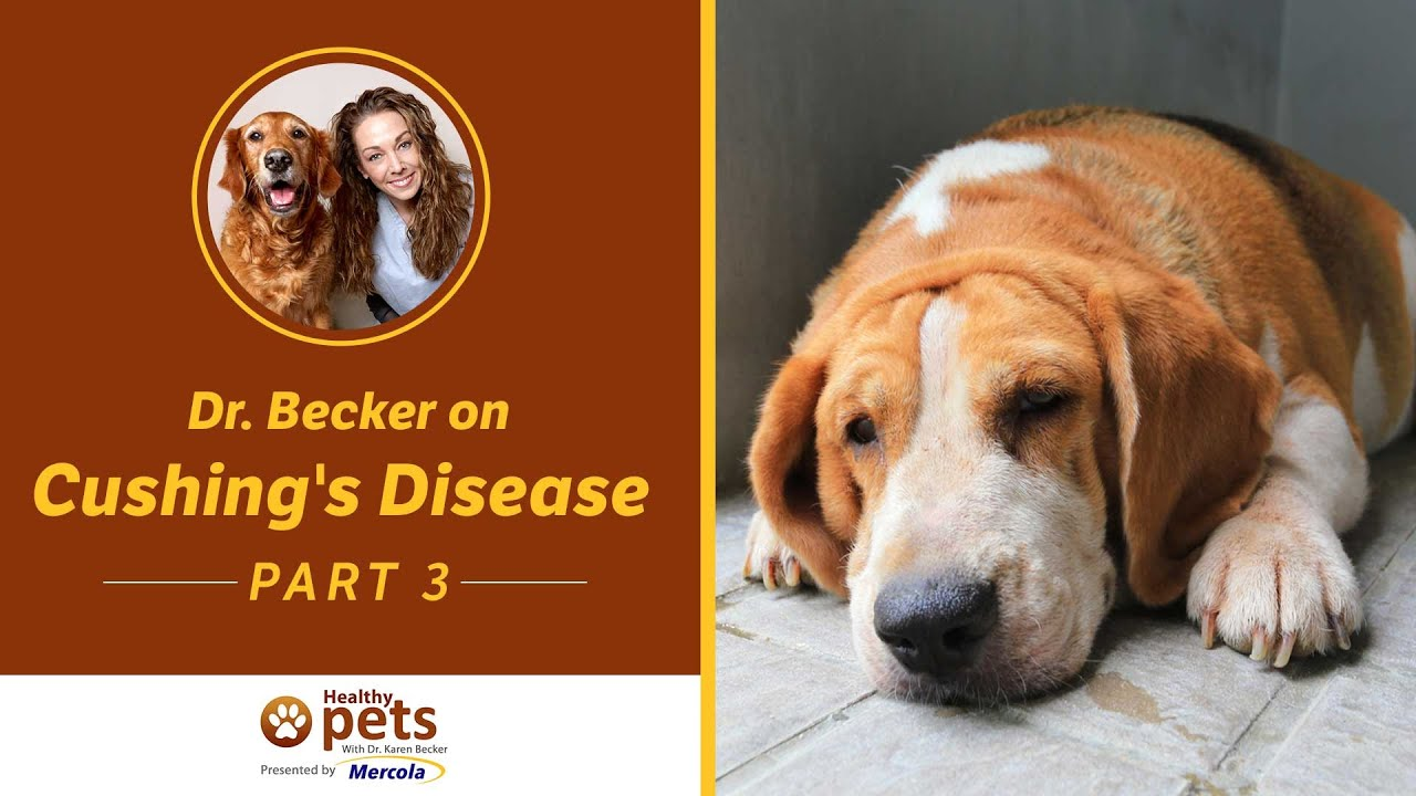 Cushing's Disease In Dogs: The Complete Dog Owners Guide