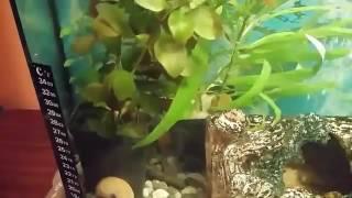 Видео аквариума от подписчика   #9 Становлюсь на путь исправления(Напоминаю, что каждый желающий может прислать видео своего аквариума и я его опубликую на канале! Аквариумы..., 2017-01-28T21:30:11.000Z)