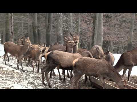 Poklady krkonošské přírody - Jelen lesní