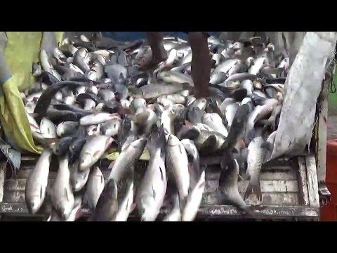 Fishing Catching | Fishing in Big River | Drain Fish Hunting video