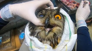 Eat it when I'm being nice... Feeding a sick eagle owl, Wild Animal Rescue Center Ep.02