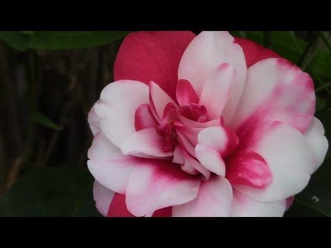 Camellias- Delightful Winter And Spring Bloomers