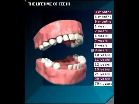 Прорезывание и смена зубов