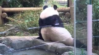 上野動物園のパンダ、シンシン。It is an image of the panda of a zoo.