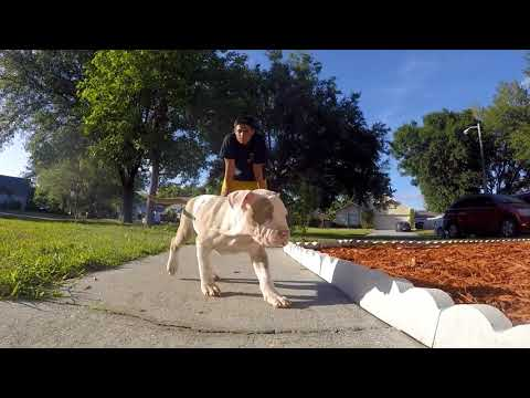 XXL Pitbull Puppies For sale; Titanium Kilo Kennels; Family Dogs; Blue Nose PitBull Puppies