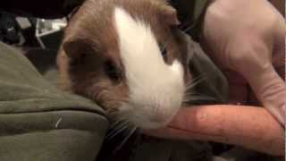 Hand feeding very funny guinea pig. This animal eating carrot. Guinea Pig as pet