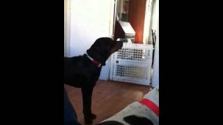 Rottweiler Growling At Log
