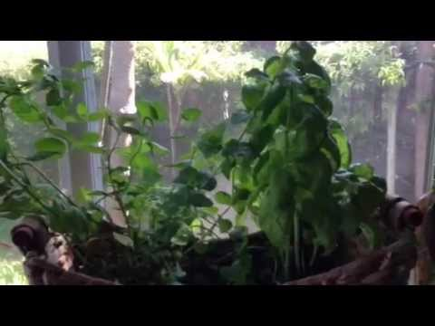 How to grow herbs indoors the easy way youtube how to grow herbs indoors the easy way workwithnaturefo