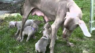 Akc Weimaraner Puppies (sakura And Kohana's First Litters)