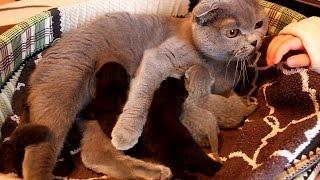 Шотландские котята нашей Люськи. 5 штук!