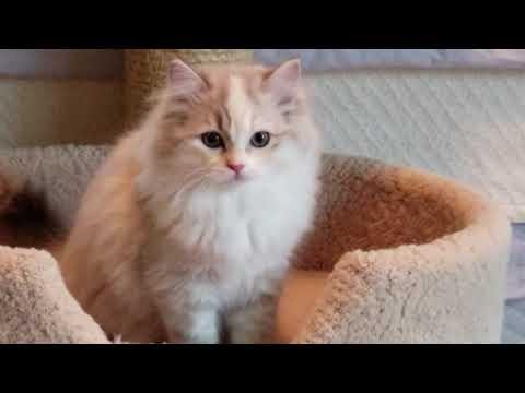 Kaerik RagaMuffin Kittens - The Moody Blues Litter 12 weeks old - kaerikrags.com