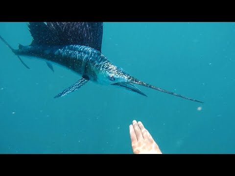 SAILFISH ATTACKS SWIMMER- Full Story (B2B Ep: 3)