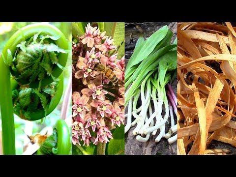 Wild Edibles- Season 3- Milkweed, Tree Cambium, Fiddlehead, Pine, Cattail, Evergreens, Birch