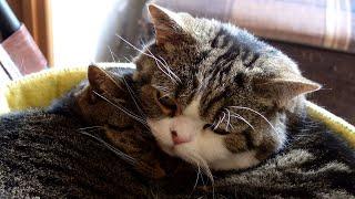 一緒に寝ることにしたねこ2。-Maru&Hana take a nap together 2.-