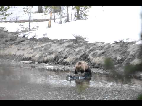 Yellowstone Grizzly Bear Eats Bison