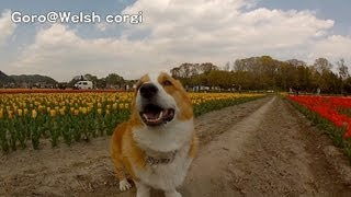 Tulip, Hamura City, Gopro Version / チューリップ 羽村市 20130412 Goro@welsh Corgi