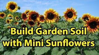 Building Healthy Garden Soil Improvement with Mini Blooming Sunflowers Gardening 101