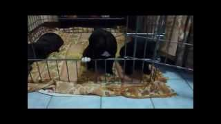 Eliosunrise Kennel Puppies Deigian Obama Red X Zebra Finch Atenea At Eliosunrise