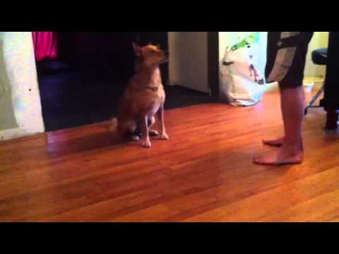Finnish Spitz: What's Good About 'Em? What's Bad About 'Em?  Finnish Spitz Lab Mix