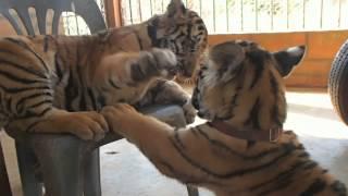 Путешествие. Таиланд. тигрята, cubs