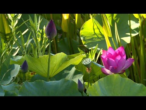 Pachypodium lamerei doovi for Au jardin tropical guadeloupe