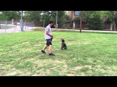 Teaching a German Shorthaired Pointer to walk on leash and sit