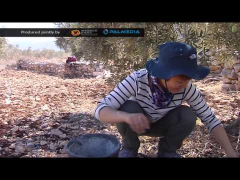 Middle east Business News: Olive Harvest
