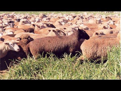 Clique e veja o vídeo Criação de Ovinos de Corte - Raças de Ovelhas