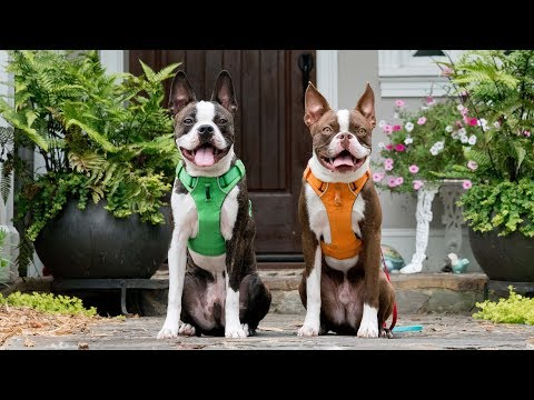 FIRST YEAR WITH BOSTON TERRIER PUPPY BROTHERS