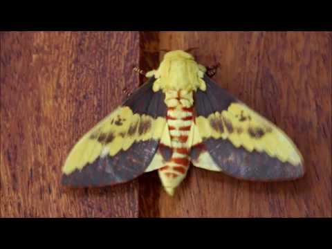 Citheronia laocoon - Saturniidae Ceratocampinae