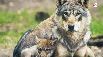 Le loup est un père exemplaire - ZAPPING SAUVAGE
