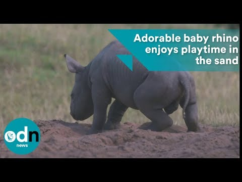 Adorable baby rhino enjoys playtime in sand