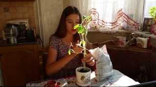Пересадка цветка в новый горшок