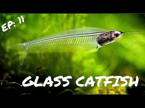 BEGINNER FISH: Ghost Glass Catfish