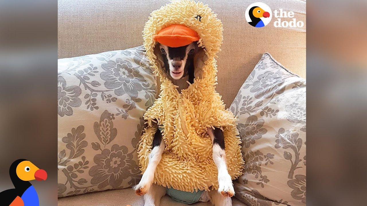 e751626e7 Anxious Goat Calms Down In Duck Costume: Cute Animals Halloween Compilation  | The Dodo