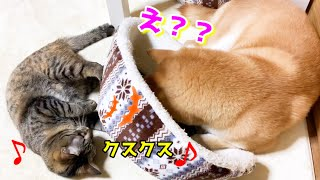 ベッドでお互い見えず、はしゃぎ出す猫と動揺する柴犬 Shiba Inu is surprised, but cats are delighted