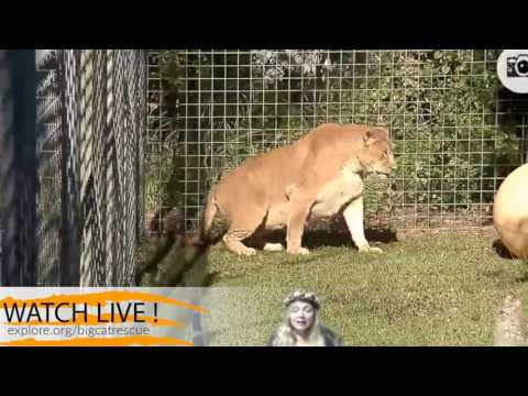LIVE from Facebook TJ & Kali Tiger w/ Nikita Lioness