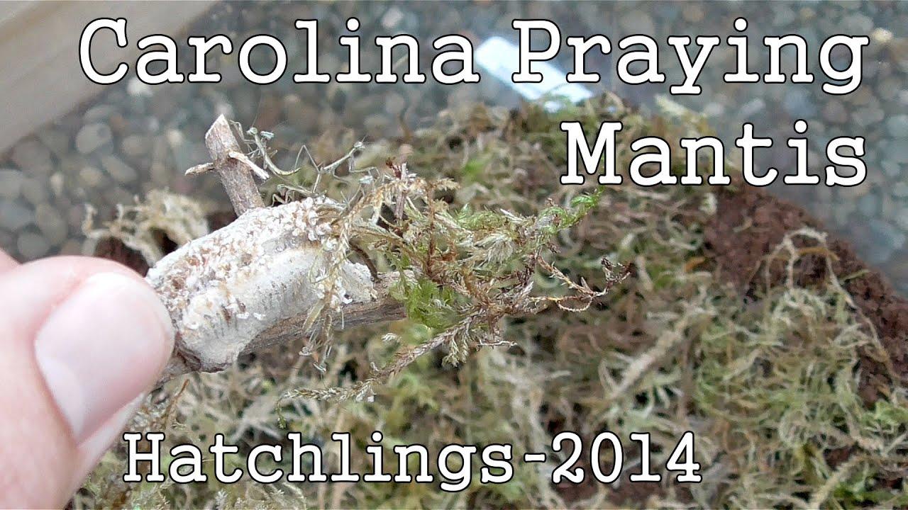 Hatching Carolina Praying Mantis Eggs 2014 Youtube